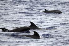 Des centaines de dauphins observés au large de Saint-Joseph.