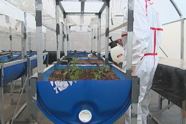 Des plants de patate douce cultivés sous serre