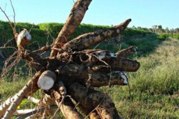 pia maniota