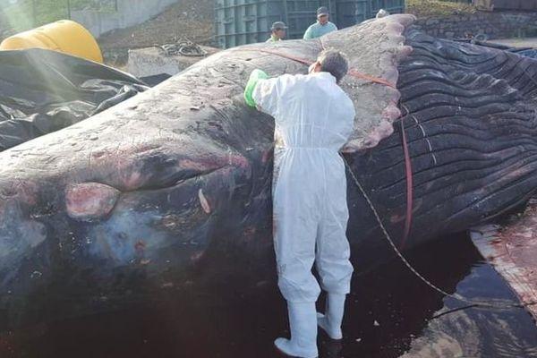 La baleine Billy souffrait d'un rein, selon les premiers résultats de l'autopsie.