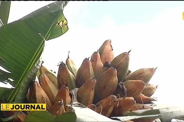 Mieux lutter contre le charançon du bananier