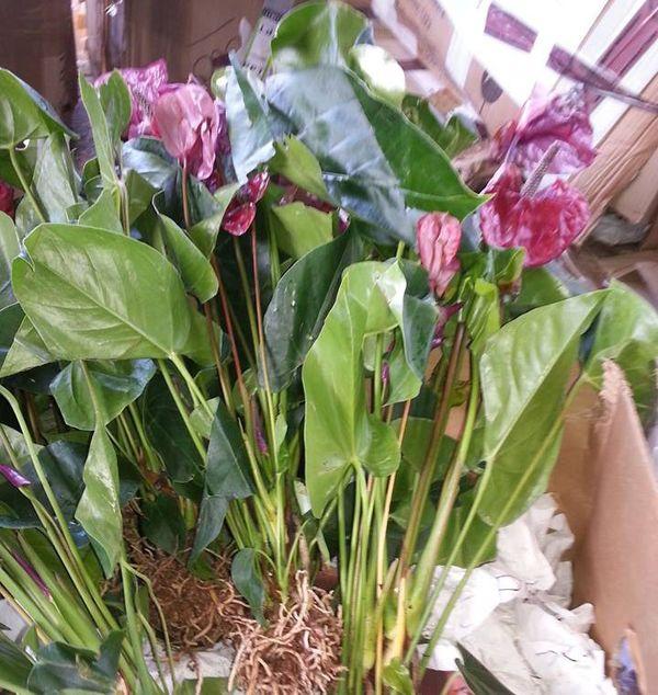 Faa'a : 3000 plantes interdites a l'importation saisies par les douanes