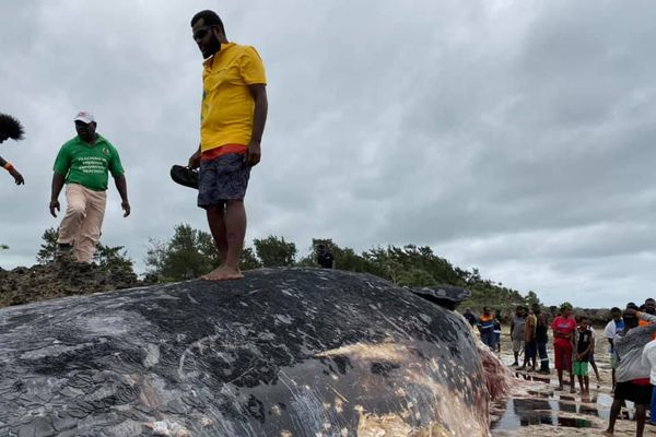 Baleine échouée à Eton, Efate