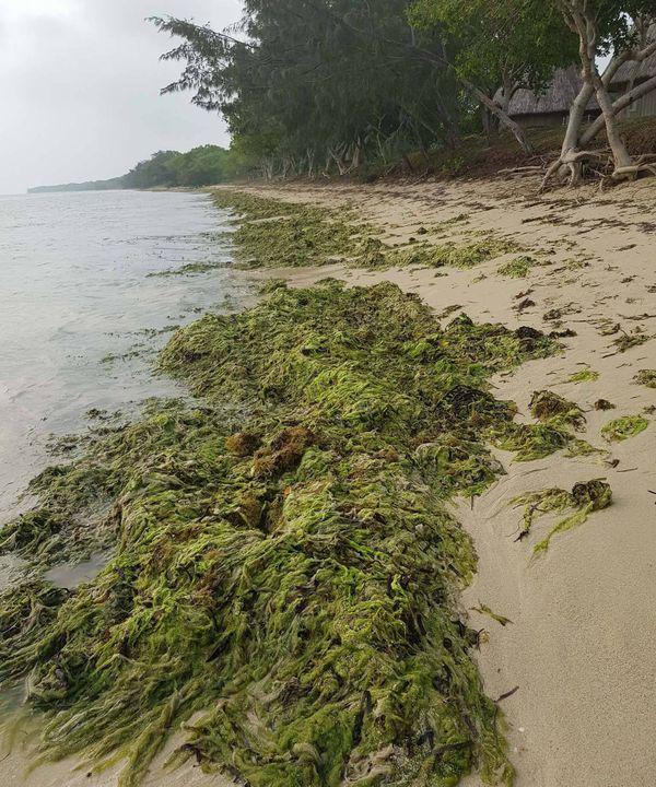 Bourail : Algues vertes sur la plage du Sheraton