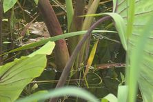 lLs racines du champ de taros sont immergées.