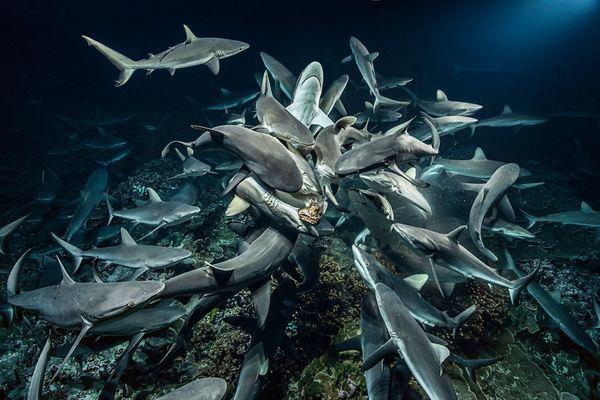 Fakarava, le gang des requins y mange à sa faim