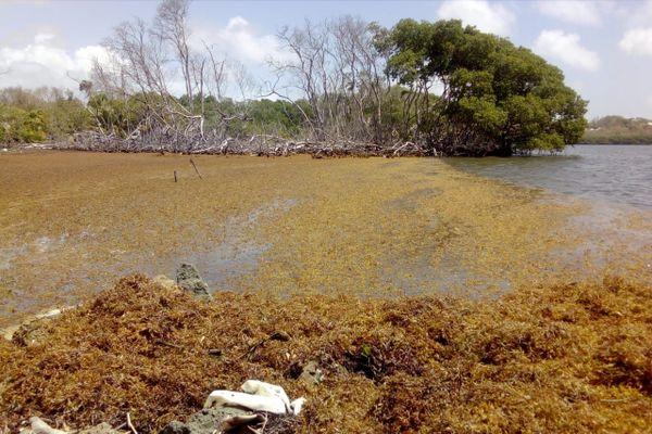 Sargasses dans la mangrove du François