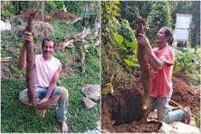 André Joseph (cultivateur amateur) et ses nouvelles récoltes miraculeuses d'ignames (février 2021)