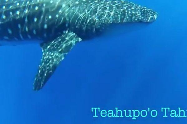 Requin-baleines et dauphins globicéphales à Teahupo'o (Tahiti)