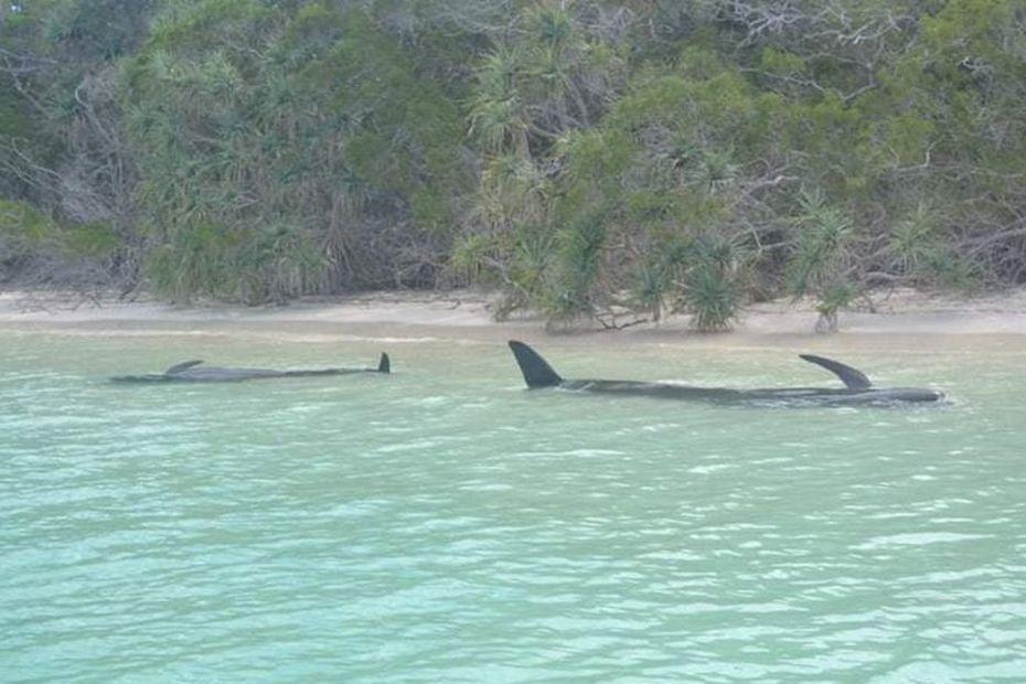 Six globicéphales n'ont pas survécu à leur échouage à l'île des Pins - Nouvelle-Calédonie la 1ère
