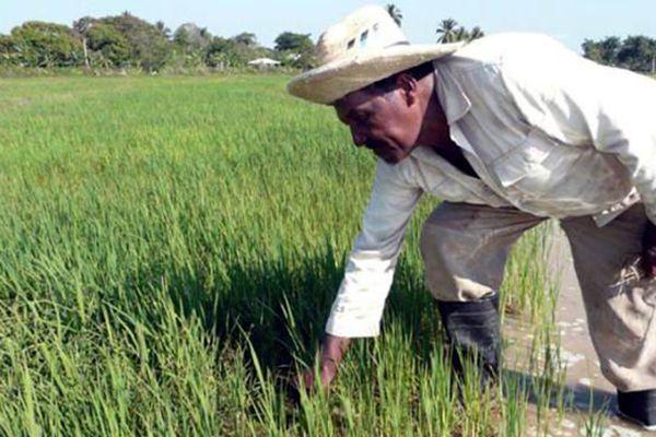 Culture de riz à Cuba