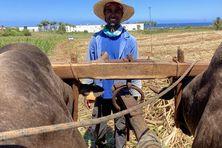 Sandy Façonnier, le dernier charretier à conduire un double attelage de taureaux à La Réunion.