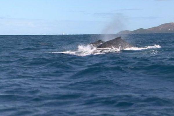 Nouvelle Caledonie : les gardiens des baleines fidèles au poste