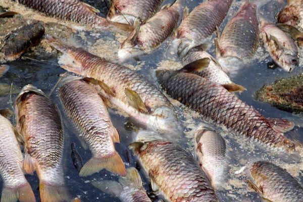 Australie : hécatombe de poissons