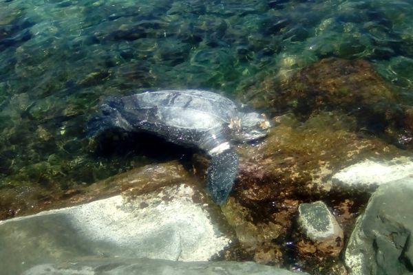 Tortue luth