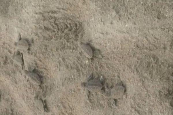 naissances de tortues