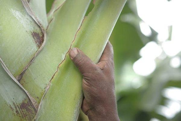 Main de travailleur dans la banane