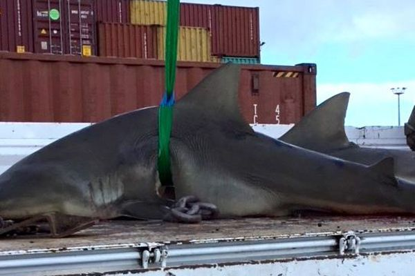 Requins bouledogues tués, 12 juin 2019