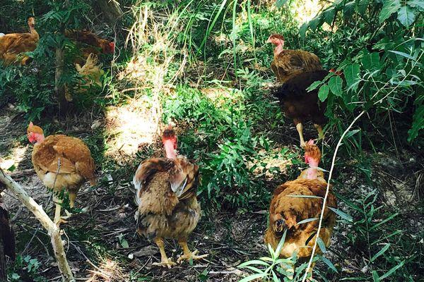 Poules élevées en plein air à Tibarama.