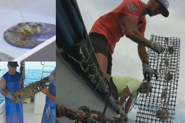L'huître perlière peut-elle survivre au réchauffement climatique ?