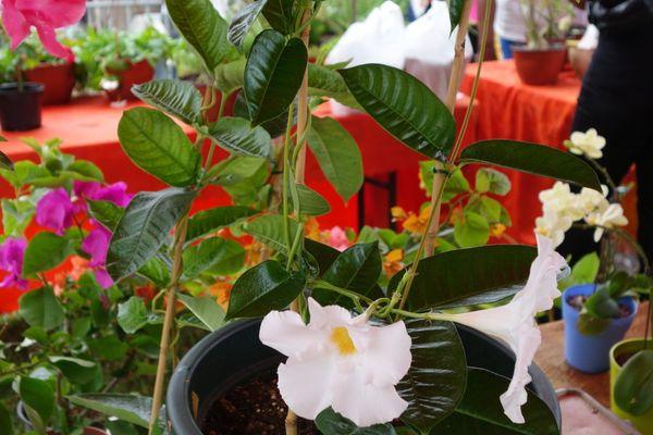 Madiflora