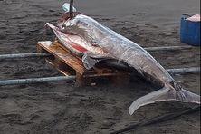Pêche d'un marlin de 250 kilos au large du Prêcheur.