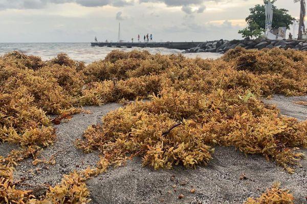 Algues sargasses plage Schoelcher
