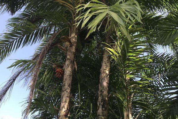 Le palmier parépou de Guyane