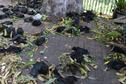 Des milliers de roussettes succombent à la chaleur en Australie