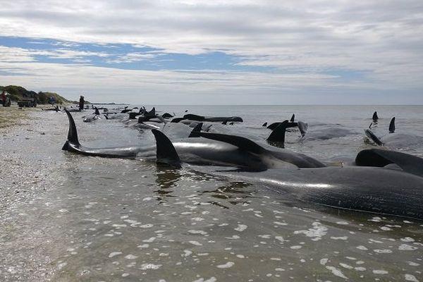 Baleines échouées Nouvelle-Zélande