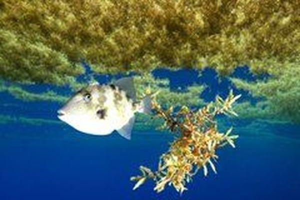 Les sargasses en mer abritent tout un écosystème