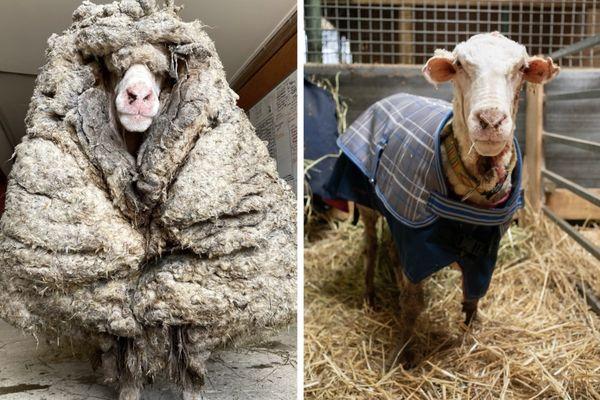 Baarack le mouton laineux, avant et après sa tonte.
