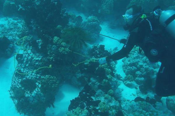 ramassage taramea / étoiles de mer épineuses