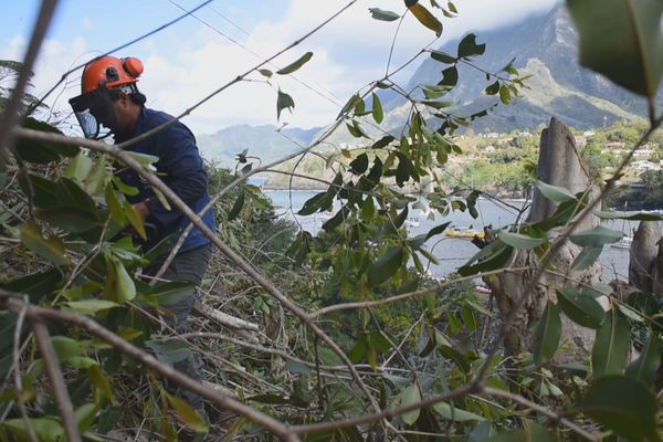 Hiva Oa / nettoyage des arbres