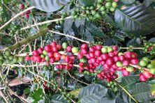 Une branche de café