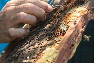 Varroa parasite des abeilles