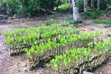 Les plants de palétuviers qui permettront de restaurer la mangrove.