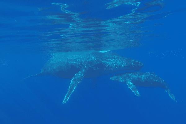 Exclusivité : Des baleines filmées par Réunion 1ère