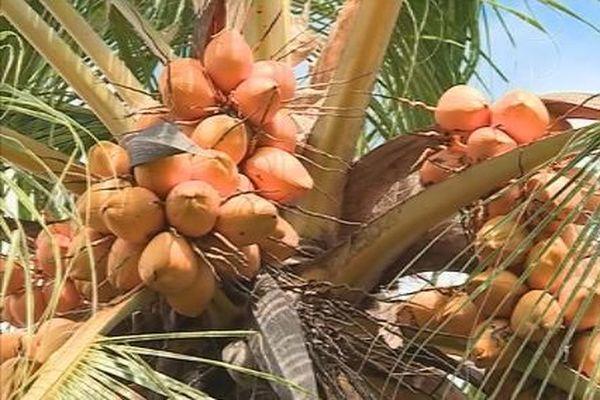mission sur le cocotier