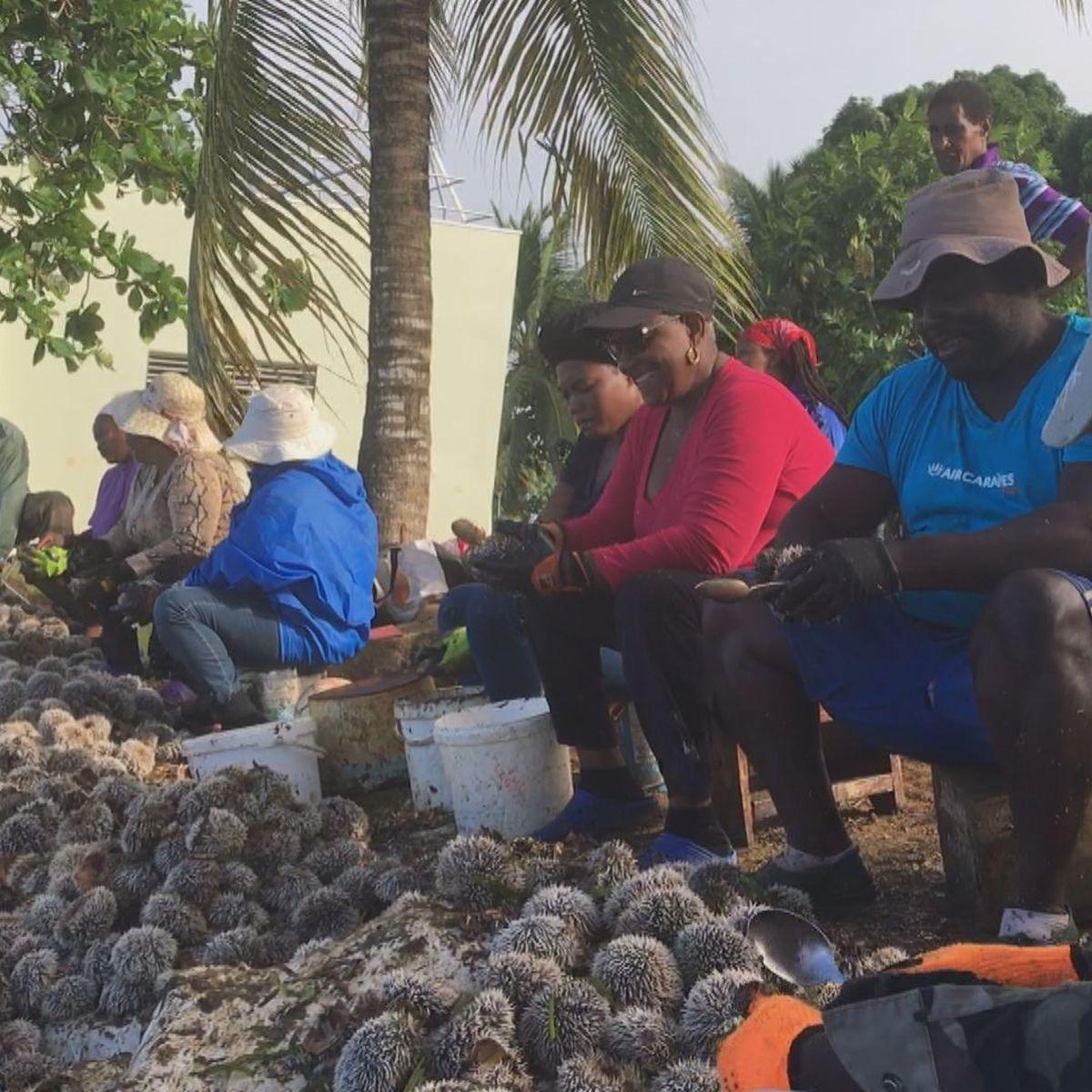 Les professionnels de l'oursin en Guadeloupe ont fait bonne pêche