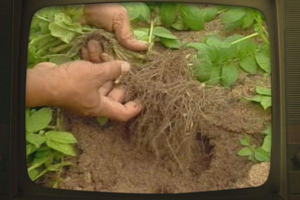 Fenua d'antan : les pommes de terres de Tubuai