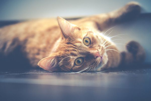 Animaux domestiques chat