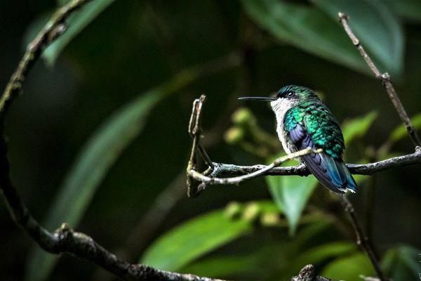 Colibri à tête bleue femelle