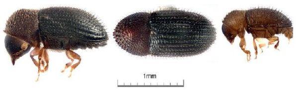 Vue latérale et dorsale de la femelle, vue latérale du mâle de Hypothenemus hampei