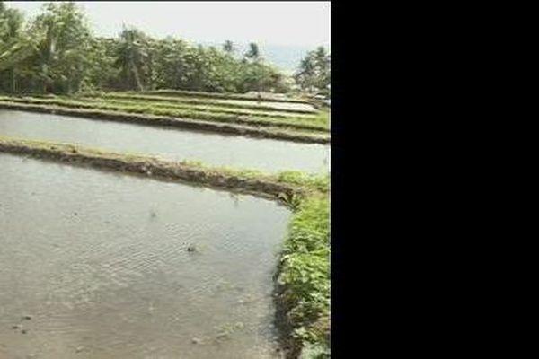 tarodières de Futuna