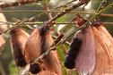 Nouvelle invasion de papillons cendre à Sinnamary