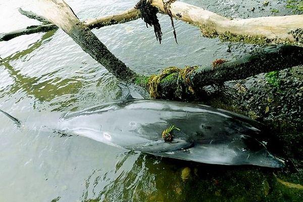 Dauphin mort à l'île Maurice