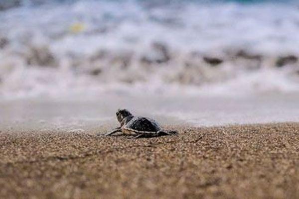Bébé tortue à Mayotte