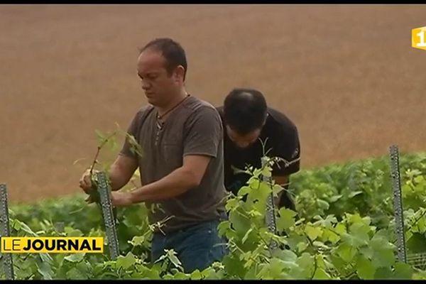 Steve Moana, le Tahitien producteur de vin