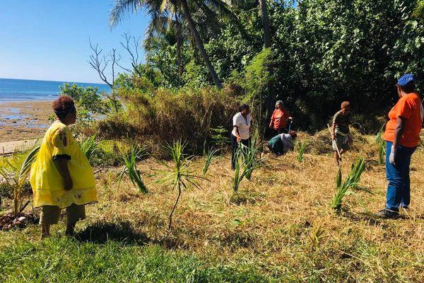 plantation de pandanus à Poindimié